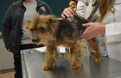 Photo of a rescued yorkie